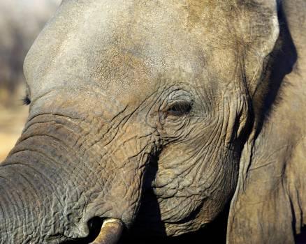 Elephant Mammal African elephant Free Photo