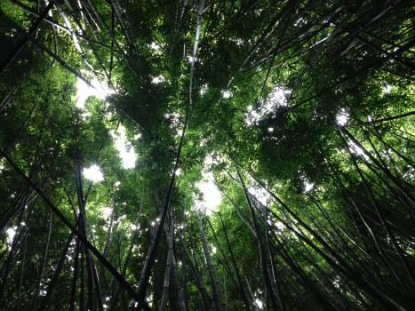 Bamboo Tree Plant #12369