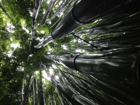 Bamboo Plant Leaf #12370