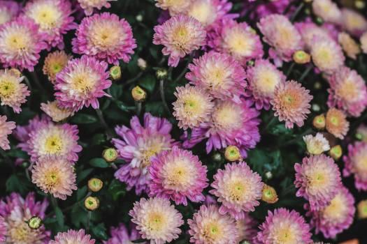 Pink Flower Flowers #12371