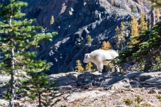 Arctic fox Fox Canine #12376
