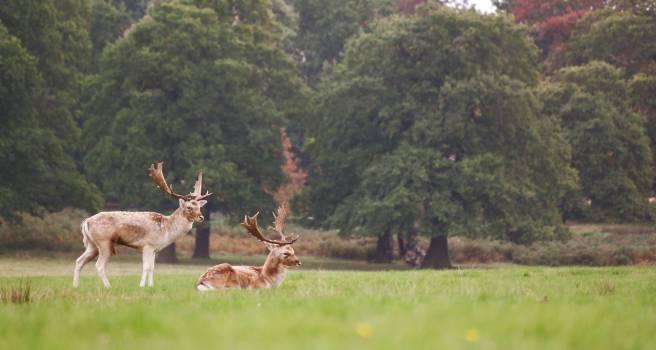 Antelope Deer Bovid #12398