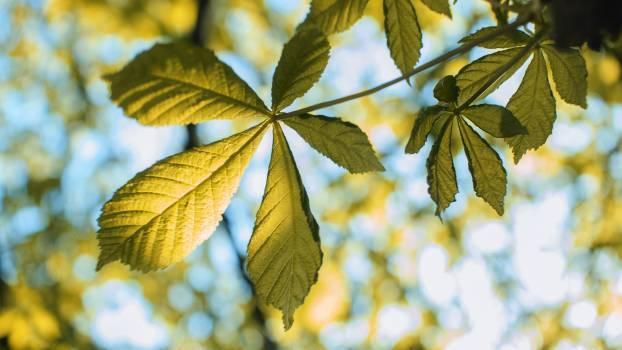Maple Leaves Leaf #124340