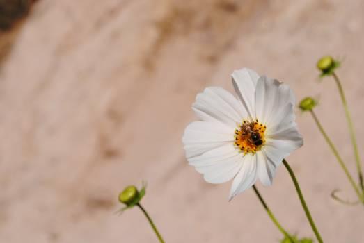 Flower Daisy Plant #124392