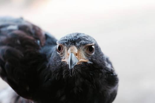 Bird Hen Vulture Free Photo