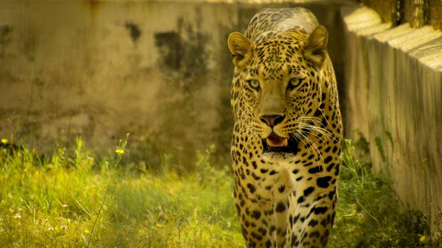Predator Leopard Fur #124576