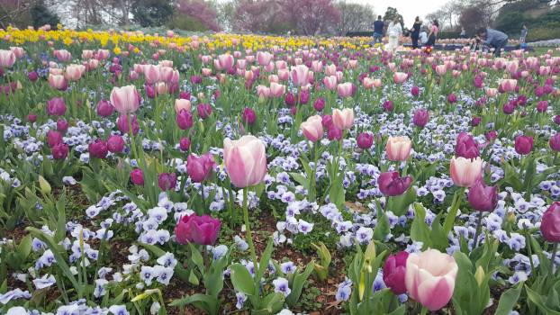 Tulip Tulips Spring #124684