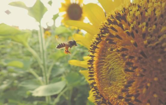 Sunflower Flower Yellow #12474