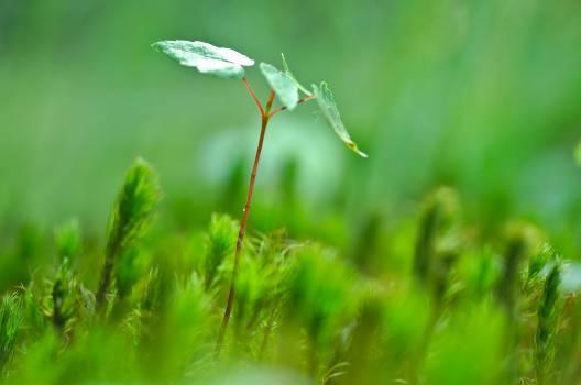Grass Plant Leaf #12486