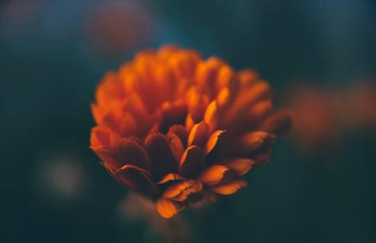 Orange Flower Plant #12498