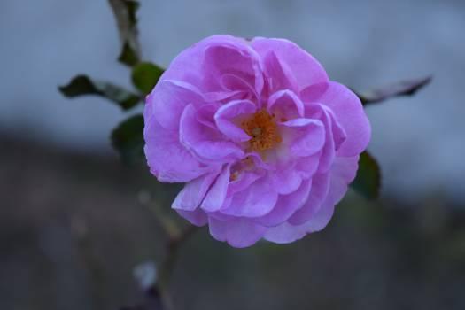 Rose Shrub Flower #125042