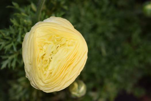 Pale yellow Yellow Flower Free Photo