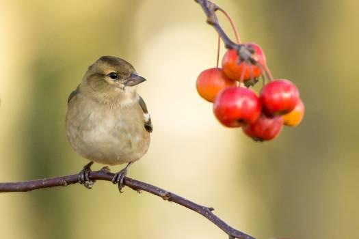 Finch Bird Junco #12515