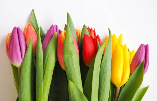 Tulip Spring Tulips #125168