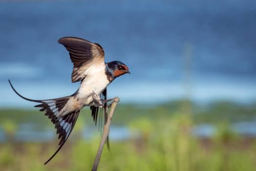 Bird Coucal Bulbul #12517