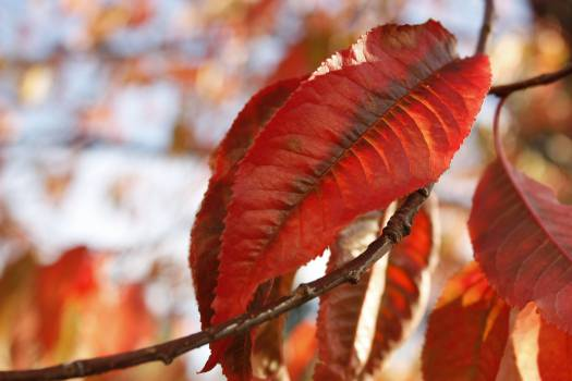 Maple Leaf Season #12524