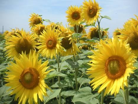 Sunflower Flower Yellow #125328