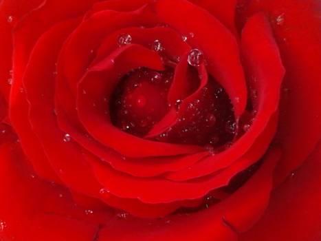 Rose Flower Petal Free Photo