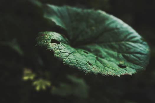 Chameleon African chameleon Leaf #12666