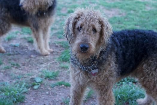 Hunting dog Otterhound Airedale #126725