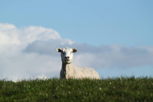 Simpleton Sheep Animal #12673