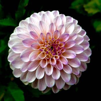 Pink Flower Petal #12684