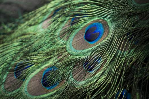Greenish blue Peacock Peafowl #12705
