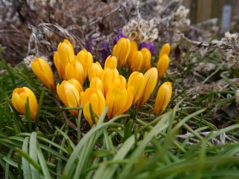 Tulip Tulips Spring #127213