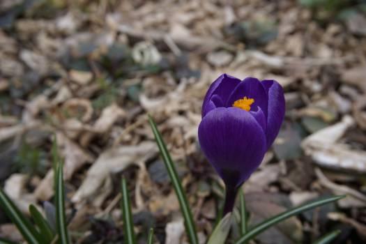 Tulip Flower Spring #127420