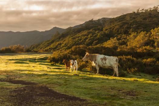 Ranch Cow Farm Free Photo
