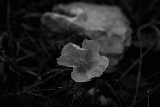 Rose Shrub Flower #127641
