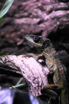 Lizard Agamid Frog #12787