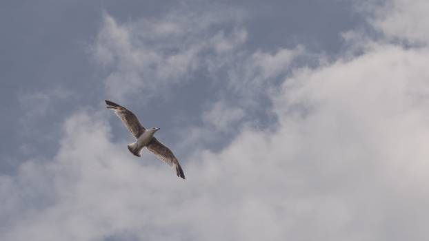 Bird Kite Hawk #12795