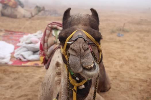 Camel Ungulate Horse Free Photo