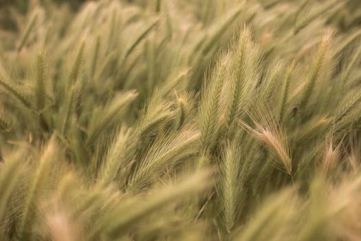 Wheat Cereal Field Free Photo