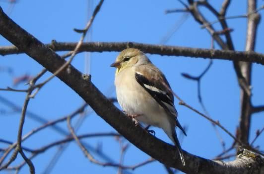 Finch Brambling Goldfinch Free Photo