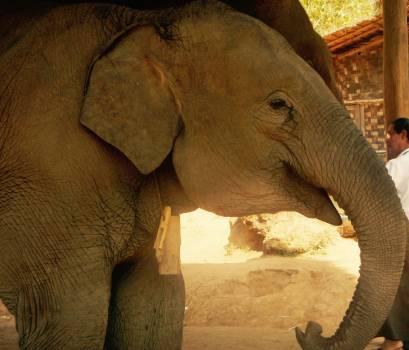 Elephant Indian elephant Proboscidean Free Photo