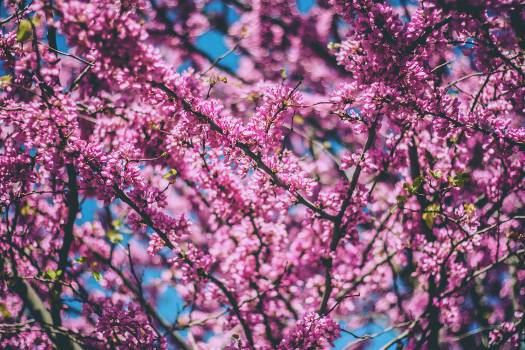 Lilac Purple Pink #12958