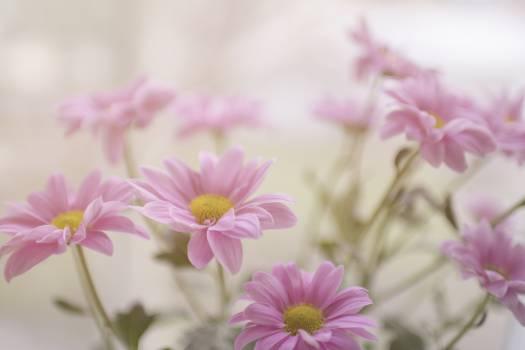 Pink Flower Daisy Free Photo