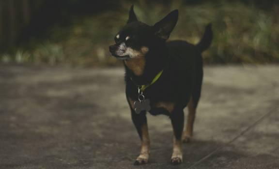 Miniature pinscher Pinscher Dog #130101