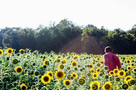 Sunflower Flower Plant #13024