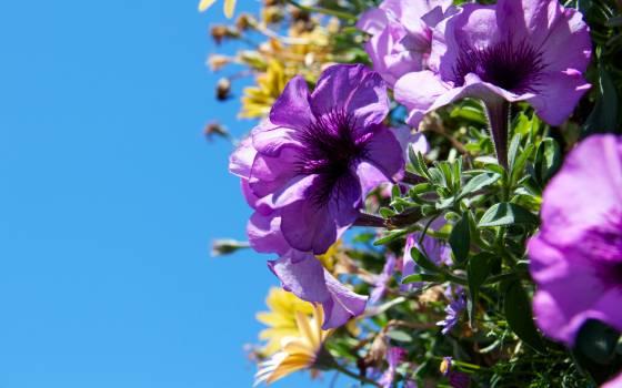 Flower Purple Lilac Free Photo