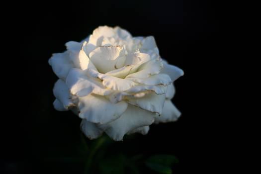Rose Flower Shrub #131016