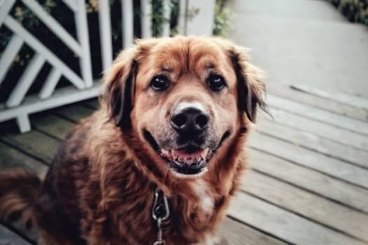 Golden retriever Retriever Dog #131185