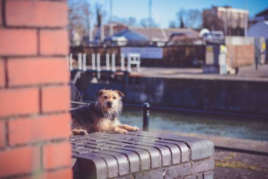 Terrier Norfolk terrier Hunting dog #131333