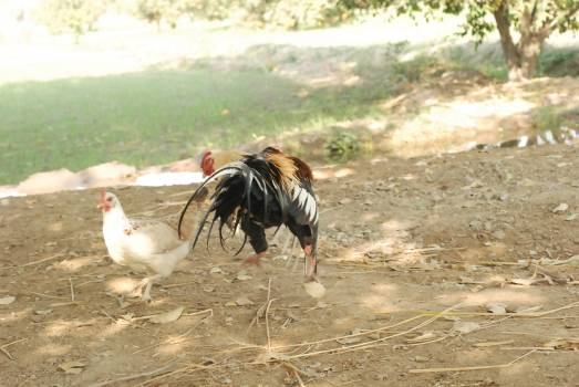 Cock Bird Ostrich #132223