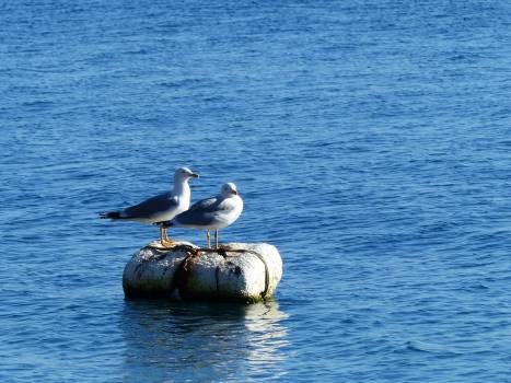 Seabird Aquatic bird Pelican Free Photo