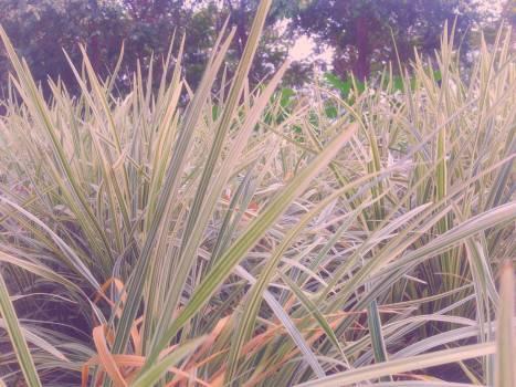 Wheat Grass Grain Free Photo