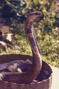 Cobra Indian cobra Snake #133190