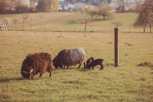 Bison Bovid Ruminant #133813